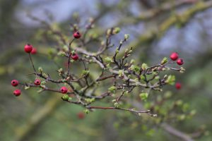 hawthorn branch.